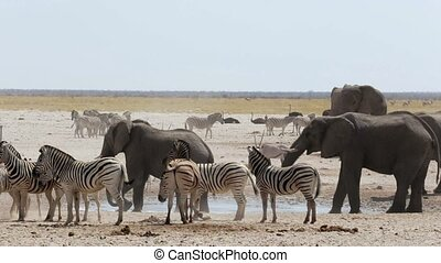 waterhole with Elephants, zebras, s - overcrowded waterhole...