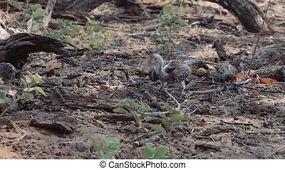 Young baby of yellow-billed Hornbill lookung for food on...