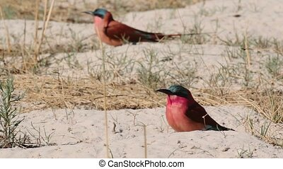 colony of Nothern Carmine Bee-eater - Large nesting colony...