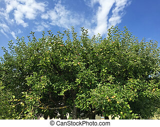 Top part of homegrown organic apple tree with many fruit...