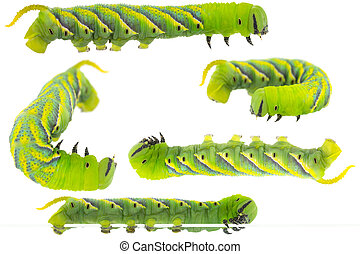 Green Caterpillar of deaths head hawkmoth in different...