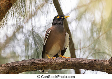 Common myna, Indian mynah bird with yellow eye patch...
