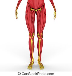 Human Legs with muscles Anatomy