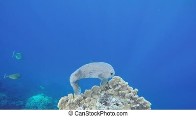 Star puffer fish, off coast of Safa - Star puffer fish...
