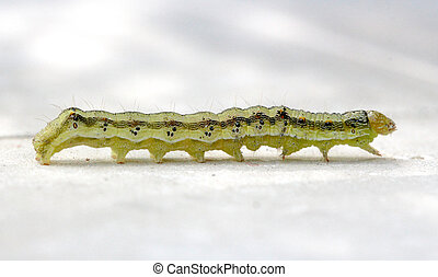 yellow green caterpillar on a white background - picture of...
