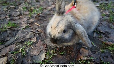 scared rabbit on a red leash smelling air sitting on ground