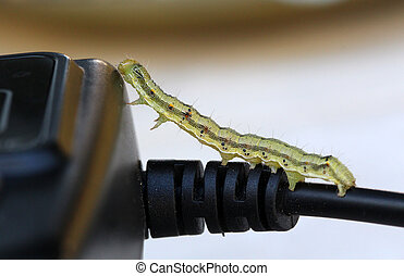 yellow green caterpillar on a electric cable - picture of a...