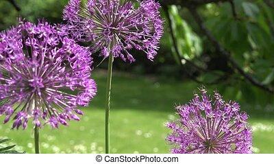garlic allium flower move in wind. Focus change. 4K