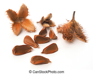 European beech nuts on white - Close up of the nuts of a...