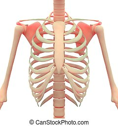 Ribs with Scapula Anatomy - 3D Illustration of Ribs with...