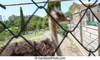 ostrich emu prinking behind grid in open-air cage in zoo