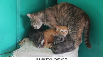 Homeless Cat with Kittens in Nature. Mom cat licks her...