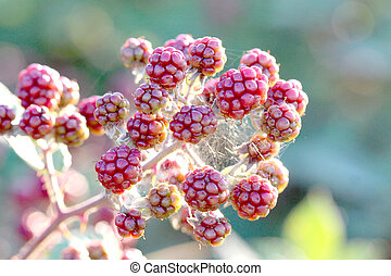Bunch of blackberries, close-up