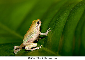 Baby Tree frog on the leaf Hyla chinensis