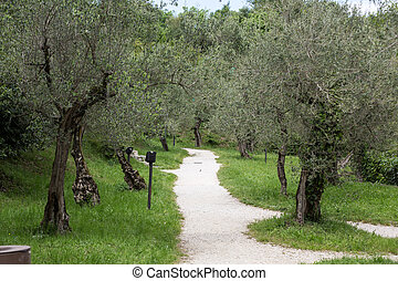 olive trees in Sirmione on the Lake Garda Italy