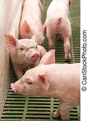 Baby pig in a pigsty - Small and funny pink piglet in a...