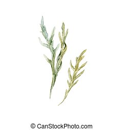 Watercolor vector arugula herbs - Beautiful image with...
