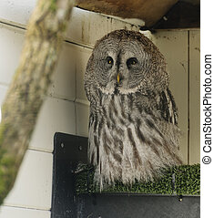 Great grey owl strix nebulosa - Adult great grey owl strix...