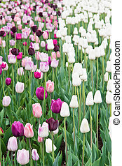 glade with many colored tulips in the park