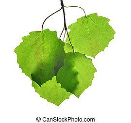 spring leaves of aspen - Fresh green spring leaves of aspen...
