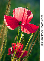 Poppy - Beautiful poppy, green background