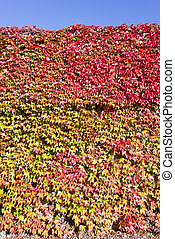 Autumn Colors - The wall fully overgrown by leaves painted...