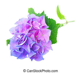 blue and violet hortensia flowers - twig of blue and violet...