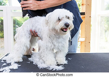 Standing Maltese dog is groomed - Standing white Maltese dog...