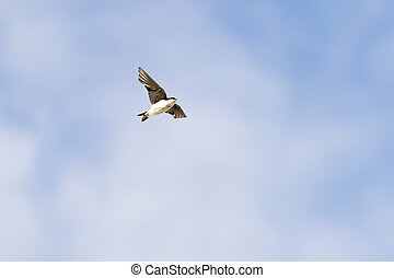 Tree Swallow against thin clouds - Tree Swallow passes...