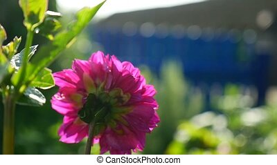 pink aster flower in the yard video - pink aster flower in...