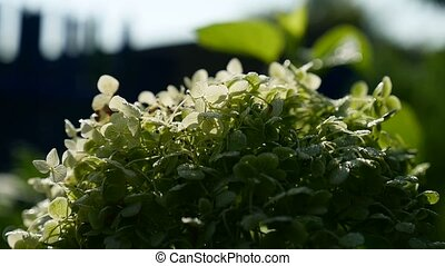 green shrub with small white flowers video - green shrub...