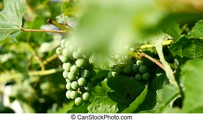 green video branch of a large grape - green video branch of...