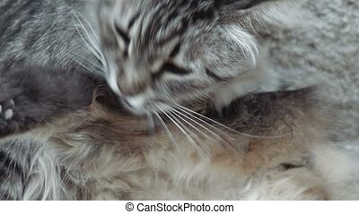 Young cat grooming very closeup view