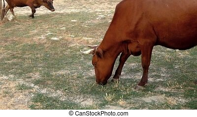 Two dirty cows are feeding in the tramped pasture side view.