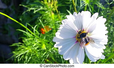 Bumble Bee on a Flower - Bumble Bee Flying From Flower To...