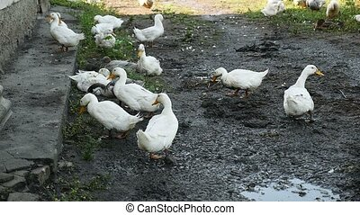 video geese in the yard drinking water from puddles - video...