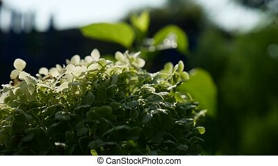 green shrub with small white video flowers - green shrub...