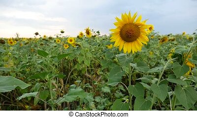 field of beautiful yellow sunflowers with black caps video -...