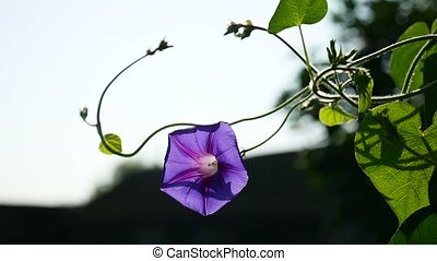 purple flower on a thin stalk of twine video - purple flower...