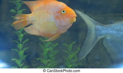 yellow fish swimming video in an aquarium - yellow fish...