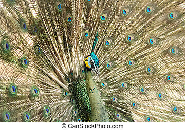peacock and tail-feathers spreading - the peacock spread...