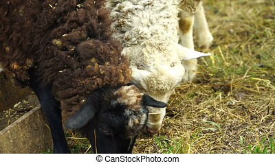 Footage Sheep eating and walking outdoors 4k video