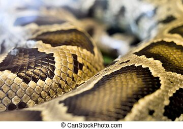 boa snake was curled up - Big boa snake was curled up in a...