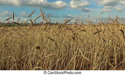 ears of wheat on a field. - ears of wheat in a field. Bright...