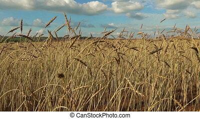 ears of wheat on a field - ears of wheat in a field Bright...