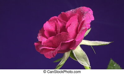 Rose flower in the rain, drops of water shining as diamonds,...