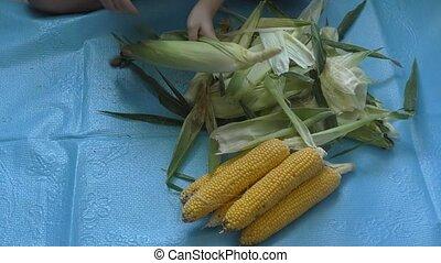 Boy cleans up corn cobs - Boy cleans ripe up corn cobs