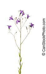 Flowers wild lilac-purple bell - gentle summer bright...