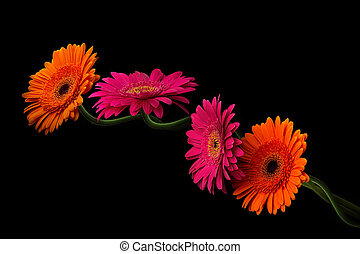 Pink and orange gerbera with stem isolated on black...