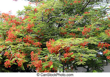 Red flower of Royal poinciana or flamboyant tree in full...